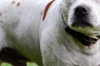 Kamphundar används allt för ofta för att hota andra, eller skaffa sin ägare respekt.