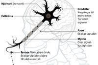 Grafik: Så luras hjärnan av antidepressiva