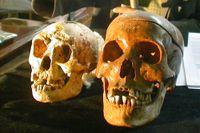 Skallen från en Homo floresiensis, till vänster, bredvid en människoskalle.