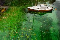 Extrem algblomning uteblev i år
