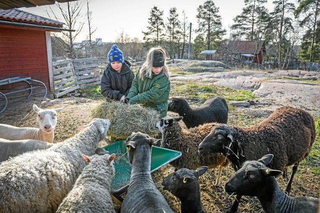 Får har genom tiderna varit mycket viktiga husdjur för människan då de bidrar med kött, skinn, mjölk och ull till kläder. Foto: Ari Luostarinen