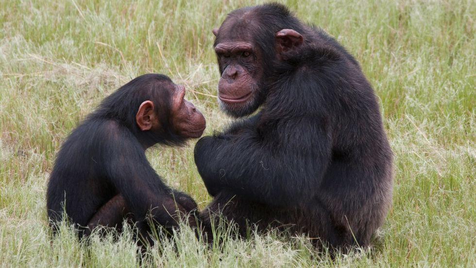 Vår närmaste släkting, schimpansen, kan visa uppskattning för en uppoffring och avstå från en belöning. Arkivbild.