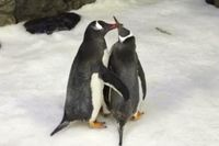 Magic och Sphen gosar med varandra på Sea Life-akvariet i Sydney.