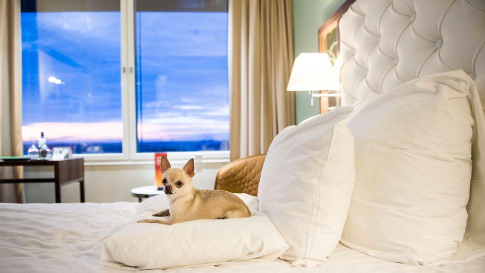 Många djurägare har bokat in sig och sina fyrbenta vänner på Clarion Hotel Arlanda för att slippa nyårsfyrverkerierna. Arkivbild