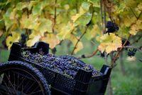 Druvklasar skördade på en vingård utanför Ystad. Svenska vindruvor stortrivdes med värmen 2016 och skörden blev på topp för många vinbönder i Sverige.