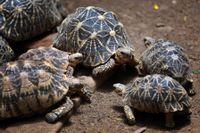 Sköldpaddor av arten indisk stjärnsköldpadda kurar ihop sig vid en djurpark utanför Bangalore i Indien. Djuren på bilden har ingenting med texten att göra. Arkivbild.