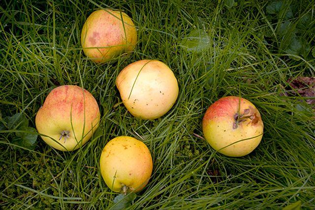 I England gör man must, sylt och cider av fallfrukten.