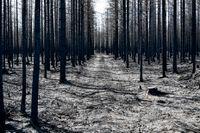 En bild från ett område i Härjedalen som drabbades av den stora skogsbranden i fjol. Arkivbild.