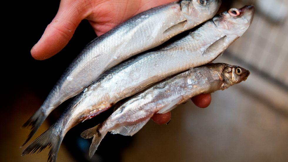 Strömming – eller sill – är ur såväl kommersiell som ekologisk synvinkel Östersjöns dominerande fiskart, skriver artikelförfattarna.