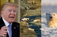 Renar och isbjörn i reservatet Arctic national wildlife refuge i Alaska, som kan öppnas för oljeprospektering om president Donald Trump får sin vilja igenom.