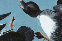 Andfågeln knipa (Bucephala clangula), illustration av den mästerlige John James Audubon (1785–1851).