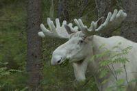 """""""Vi vet inte vad som kan ha hänt honom"""", säger naturfilmaren Ulf Jonasson om Ferdinand. Bilden är en stillbild ur dokumentären """"Skogens vita konung""""."""