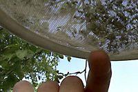 Mygglarver i ett nät i Österfärnebo.