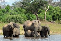 Det är cyanobakterier som är orsaken till att fler än 300 elefanter dött i Botswana, enligt landets viltvårdmyndigheter. På bilden elefanter i nationalparken Chobe i Botswana.