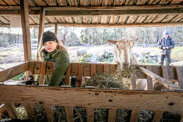 Det är bra att umgås med djur och inte bara se dem på film, tycker juniorreportern Majken efter att ha testat på att vara fåraherde för en dag. Foto: Ari Luostarinen