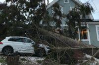 Parets hus har förstörts efter att en 20 meter hög gran gav vika för stormen Alfrida.