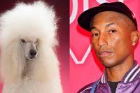 Pharrell Williams gjorde en pudel.