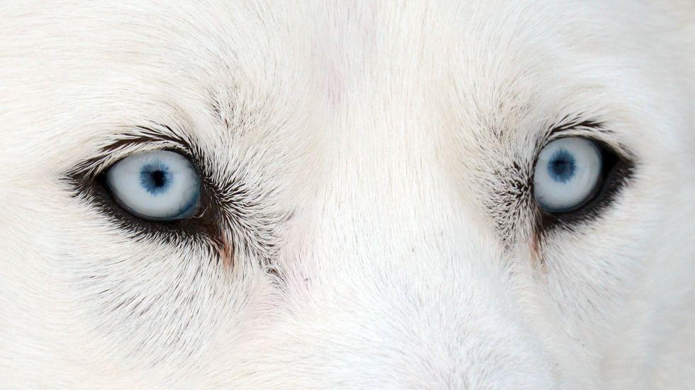 Har du koll på vilken dödsorsak som är vanligast för den hundras du har? Arkivbild.