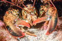 Burfångad amerikansk hummer går direkt från grönt till rött ljus i WWF:s senaste fiskguide.
