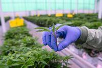 Från en odling av medicinsk cannabis i Odense.