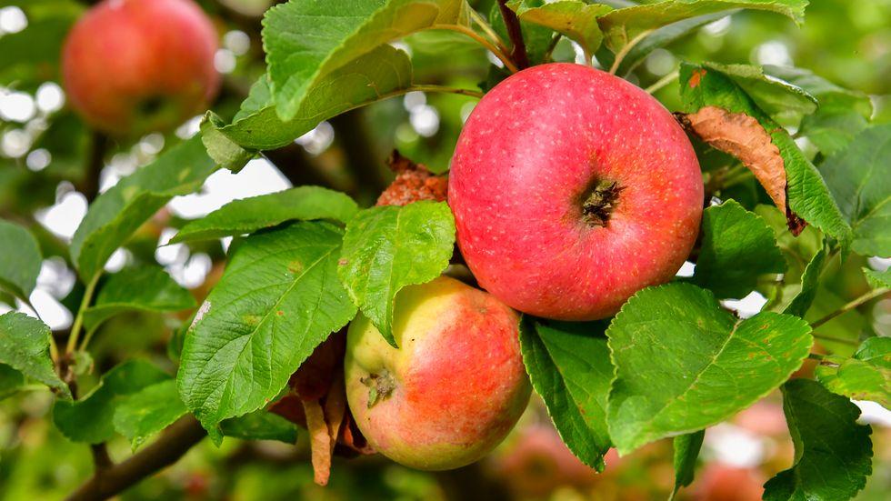 Mängder har frukt har försvunnit från en äppelodlares ägor i Skåne. Arkivbild.