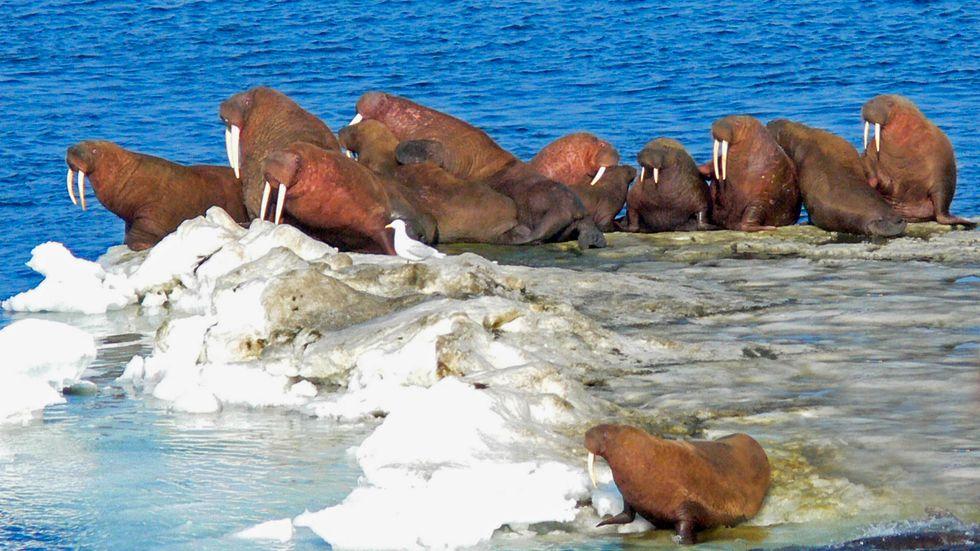 Valrossar utanför Alaskas kust. Arkivbild.