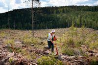Plantering på hygge i Västerbotten.