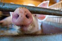 Allt fler grisar och vildsvin drabbas av afrikansk svinpest. Arkivbild.