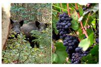 Ekonomisk katastrof när vildsvin äter upp vindruvorna i Toscana.