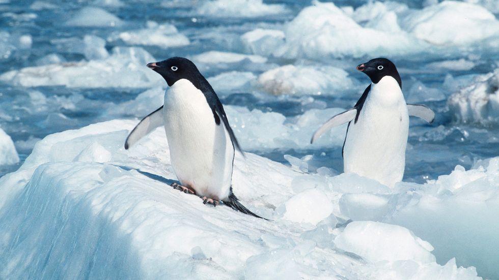 Adéliepingvinen är, tillsammans med kejsarpingvinen, den sydligast förekommande pingvinarten. Den häckar runt hela den antarktiska kontinenten.