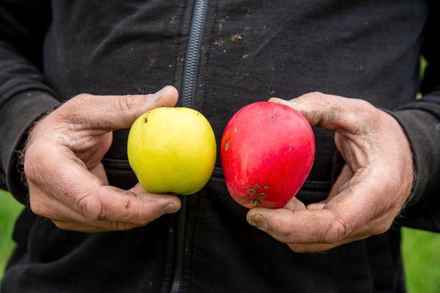 John Taylor visar upp cideräpplet Betty till vänster och dessertäpplet Katja till höger.