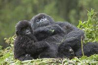 Gorillor i Rwanda som kopplar av.