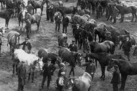 """Augusti 1914. Mobilisering i Hamburg – även hästar blev """"inkallade"""" för att delta i kriget."""