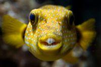 Blåsfisken på bilden har ingen anknytning till artikeln. Arkivbild.