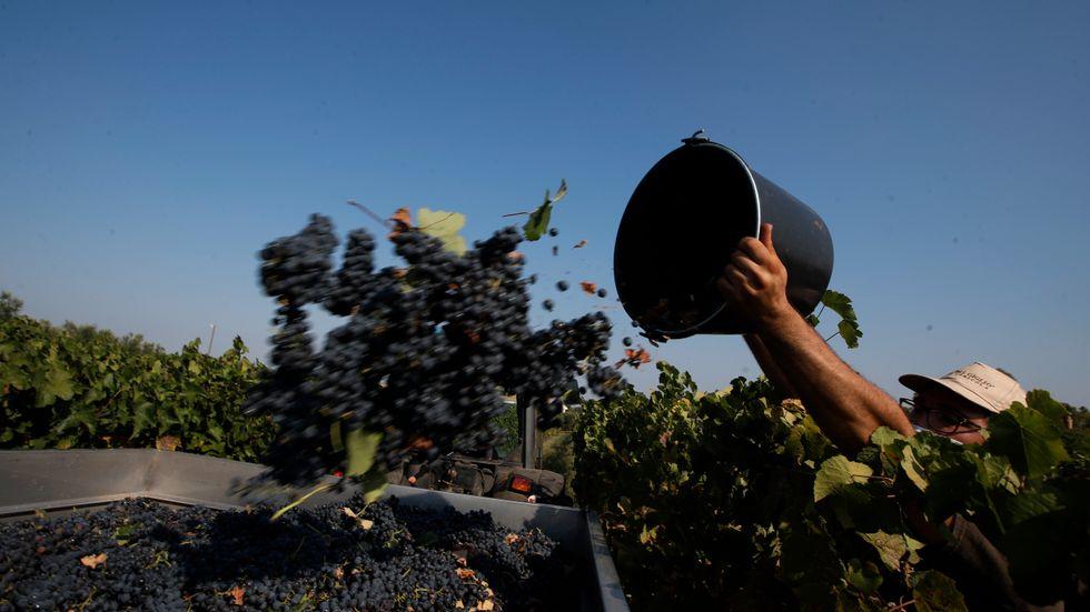 Arbetare skördar vindruvor på en vingård i Italien. Bilden har ingen koppling till artikeln.