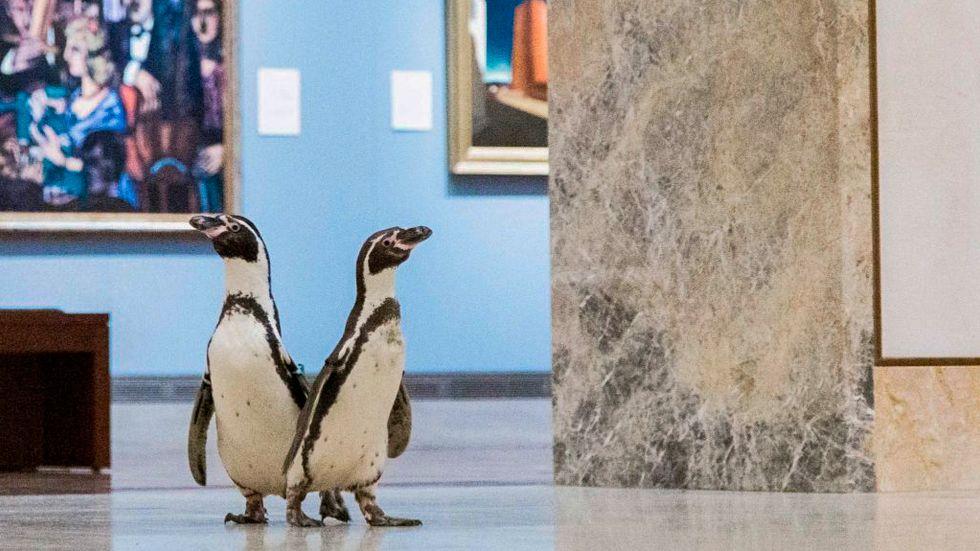 En miljard lär ha sett klippet där pingviner går runt och spanar in konsten på Nelson-Atkins Museum of Art i Kansas City.