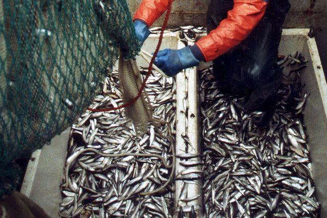 Siklöje-fiske i norra Bottenviken.