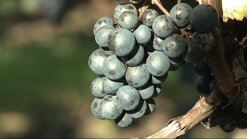 Världens äldsta vin kan vara italienskt, menar italienska och amerikanska forskare. Arkivbild.