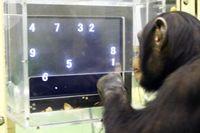 Schimpansen Ayumu fick alla siffror rätt i testet 2006 på Primate Research Institute, Kyoto, Japan.