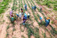 Arbete på fält i Senegal, Afrika.