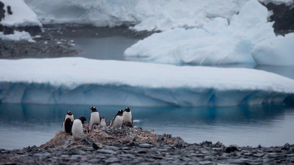 Pingviner nära en chilensk forskningsstation på den antarktiska ön Seymour.