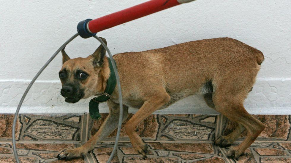 Veterinärer varnar för att adoptera gatuhundar. Arkivbild.