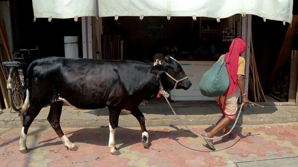 Kor är heliga i Indien. Arkivbild.