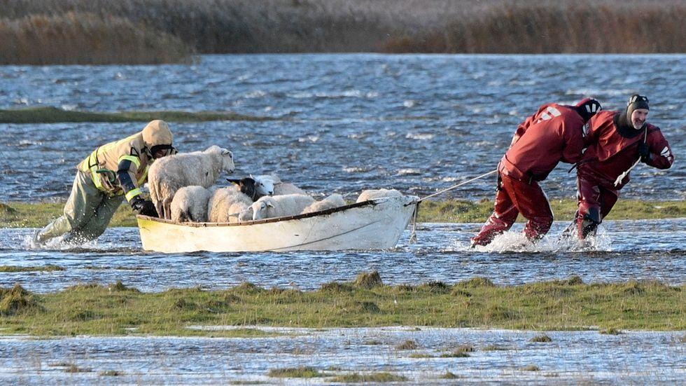 Räddningstjänsten för med hjälp av båt iland ett femtiotal får som blivit strandsatta när stormen Ingolf fick vattnet att stiga där de betade norr om Höllviken på söndagen.