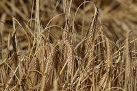 Högre pris på korn trycker upp världsmarknadspriset på livsmedel. Arkivbild
