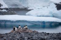 En grupp åsnepingviner på Antarktiska halvön.