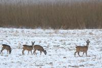 Djuren letar mat och har sina egna rutter – och inte sällan på bilvägarna. Särskilt nu när det är vinter.
