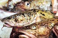 Situationen för torsken i Östersjön är dyster, enligt forskare.