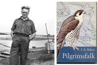 """J A Baker (1926–1987). """"Pilgrimsfalk"""" utkom på svenska 1968, med illustrationer av Gunnar Brusewitz."""