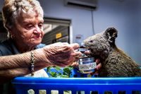 Koalasjukhuset i Port Macquire har hittat ett djur som hade brännskador på 90 procent av kroppen.